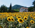 Field Of Sunflowers Tuscany Italy