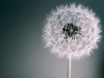 Dandelion Dream
