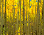 Aspens White River National Forest CO