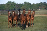 Quarter Horses mural