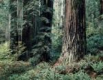 Redwood Forest mural
