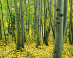 Aspen Grove Okanogan National Forest