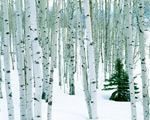 Fir in Aspen Grove