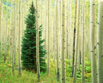 Silver Fir in Aspen Grove