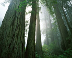 Redwoods in Fog mural