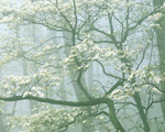 Flowering Dogwood in Foggy Forest