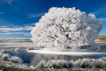 Frosted Willow Tree mural
