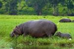 Hippopotamus and Baby mural