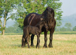 Friesian Mare With Foal