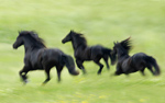 Blurred Friesians Gallop