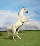 Rearing Arabian Stallion mural