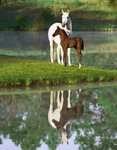 Arabian Mare With Foal