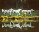 Arabian Mare Reflection