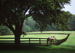 Thoroughbred Paddock Under Oak Trees