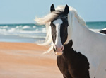Gypsy Vanner Mare at the Beach