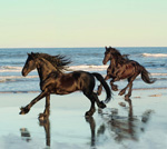 Friesian Stallions on the Beach