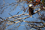 Bald Eagle in a Madrone Tree
