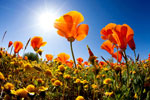 California Poppies Matera