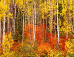 Aspens and Vine Maples in Autumn