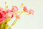 Pink Ranunculus mural