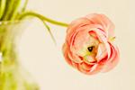 A Solitary Ranunculus mural