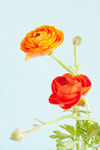 Red And Orange Ranunculus
