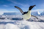 An airborne emperor penguin at edge of ice floe