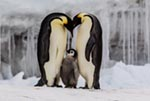 A pair of emperor penguins with their chick on the frozen Ross Sea