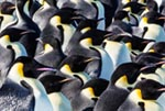 An emperor penguin colony on the frozen Ross Sea