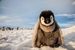 An emperor penguin chick on the frozen Ross Sea