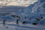 An emperor penguin colony on the frozen Ross Sea National Geographic Image Collection