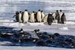 Penguins linger on the ice edge