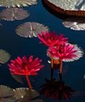 Tropical night flowering water lilies at Longwood Gardens