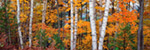 Halfmoon Lake Birches Upper Peninsula Michigan