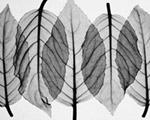 Fuscia Leaves-Black  White mural
