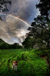 Calf with Green field and Rainbow mural