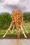 Drinking Giraffe mural