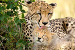 Cheetah Mother and Cub mural